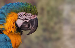 Macaw (Ara ararauna) is a species of parrot the genus authentics. The blue and gold macaw (Ara ararauna) is a species of parrot the genus authentics Aras Royalty Free Stock Images