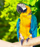 Macaw (Ara chloropterus)  in forest Stock Photo