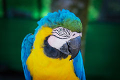 Macaw ara parrot. Blue macaw ara parrot over nature background Royalty Free Stock Photo