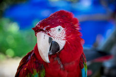Macaw ara parrot. Red macaw ara parrot over nature background Royalty Free Stock Photo