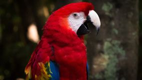 Macaw (arara). Picture taken in Mexico Royalty Free Stock Photo