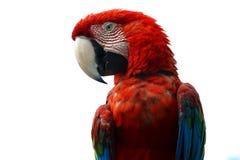 Macaw auf weißem Hintergrund Lizenzfreies Stockfoto