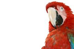 Macaw auf weißem Hintergrund lizenzfreie stockbilder