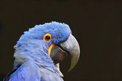 Macaw azul Imágenes de archivo libres de regalías