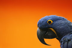 Macaw azul Imagen de archivo libre de regalías