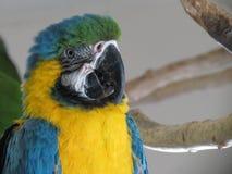 Macaw azul Foto de Stock