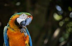 Macaw azul Foto de Stock Royalty Free