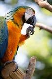 Macaw azul fotos de stock royalty free