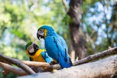 Macaw azul Imagem de Stock Royalty Free