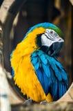 macaw Azul-amarillo en el parque zoológico Fotos de archivo