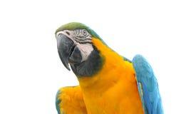 Loro hermoso del animal doméstico Fotografía de archivo libre de regalías