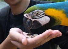 Macaw azul colorido del loro que come la semilla de girasol Fotos de archivo