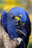 Macaw azul del jacinto Foto de archivo