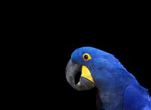 Macaw azul do hyacinth do retrato fotografia de stock royalty free