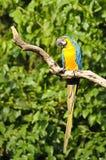 macaw Azul-e-amarelo Imagem de Stock