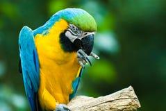 macaw Azul-e-amarelo Imagens de Stock Royalty Free