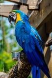 Macaw azul e amarelo fotografia de stock