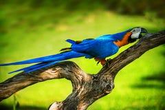 Macaw Azul-e-amarelo Fotografia de Stock Royalty Free