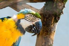 Macaw azul e amarelo Fotos de Stock Royalty Free