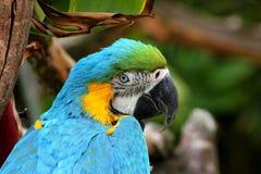 Macaw azul e amarelo Foto de Stock