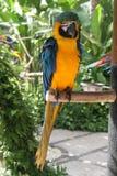 Macaw Azul-e-amarelo foto de stock royalty free