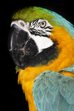 Macaw azul Parrott del oro Foto de archivo