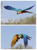 Macaw azul y amarillo Foto de archivo