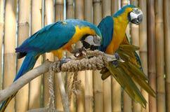 Macaw azul y amarillo Foto de archivo libre de regalías
