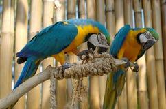 Macaw azul y amarillo Fotos de archivo