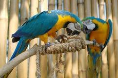 Macaw azul y amarillo Imagenes de archivo