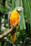 Macaw azul y amarillo Fotografía de archivo