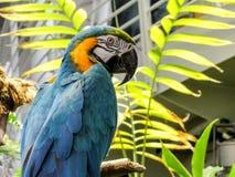 Macaw Azul-y-amarillo Imagen de archivo libre de regalías