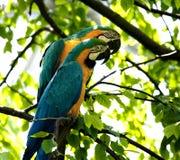 Macaw Azul-y-amarillo Fotografía de archivo libre de regalías
