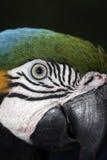 macaw Azul-y-amarillo, ararauna del Ara Imagenes de archivo