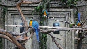macaw Azul-y-amarillo, ararauna del Ara almacen de metraje de vídeo