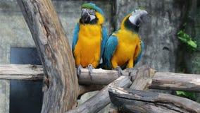 Macaw Azul-y-amarillo, ararauna del Ara, también conocido como el Macaw del Azul-y-oro almacen de metraje de vídeo