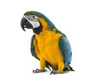 Macaw Azul-y-amarillo en el fondo blanco Fotografía de archivo