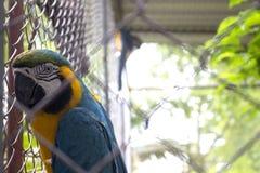 Macaw azul y amarillo hermoso en jaula foto de archivo libre de regalías