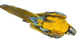 Macaw Azul-y-amarillo que miente en el suyo detrás Imagen de archivo