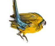 Macaw Azul-y-amarillo que miente en el suyo detrás Foto de archivo libre de regalías