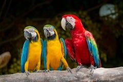 Macaw Azul-y-Amarillo-Rojo Imágenes de archivo libres de regalías