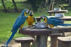 Macaw Azul-y-amarillo tres Foto de archivo libre de regalías