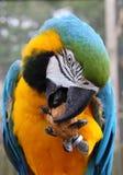 Macaw azul y verde fotos de archivo