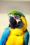 Macaw a Bangkok Tailandia Immagine Stock Libera da Diritti
