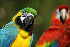 Macaw in Bangkok Thailand Royalty Free Stock Photo