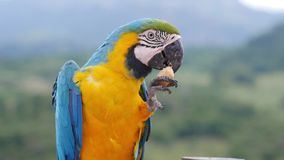 Macaw stock video