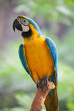 Macaw. A beautiful macaw on tree royalty free stock image