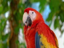 macaw Bello immagini stock libere da diritti