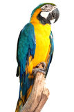 Macaw bird. Isolated in white Royalty Free Stock Photography