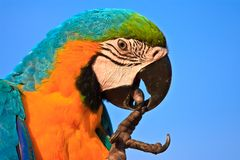 Macaw bird Stock Image
